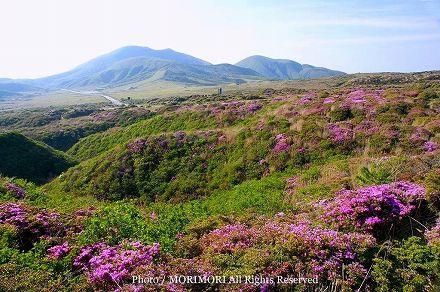 阿蘇山上のミヤマキリシマ 11