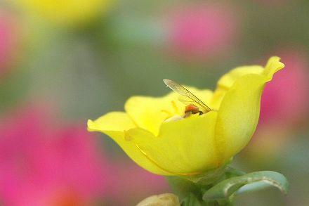 ポーチュラカとミツバチ 01