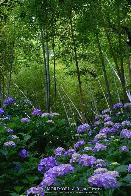 天神山公園のアジサイと竹林