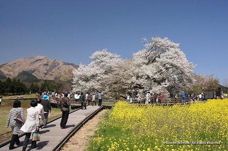 一心行の大桜(熊本県南阿蘇) 2012 02