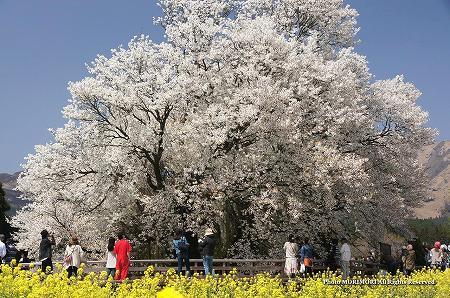 一心行の大桜(熊本県南阿蘇) 2012 03
