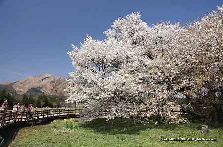 一心行の大桜(熊本県南阿蘇) 2012 04
