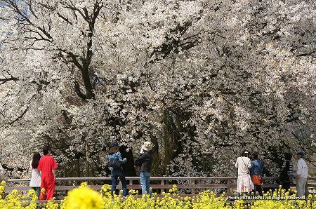 一心行の大桜(熊本県南阿蘇) 2012 05