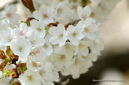 一心行の大桜(熊本県南阿蘇) 2012 06